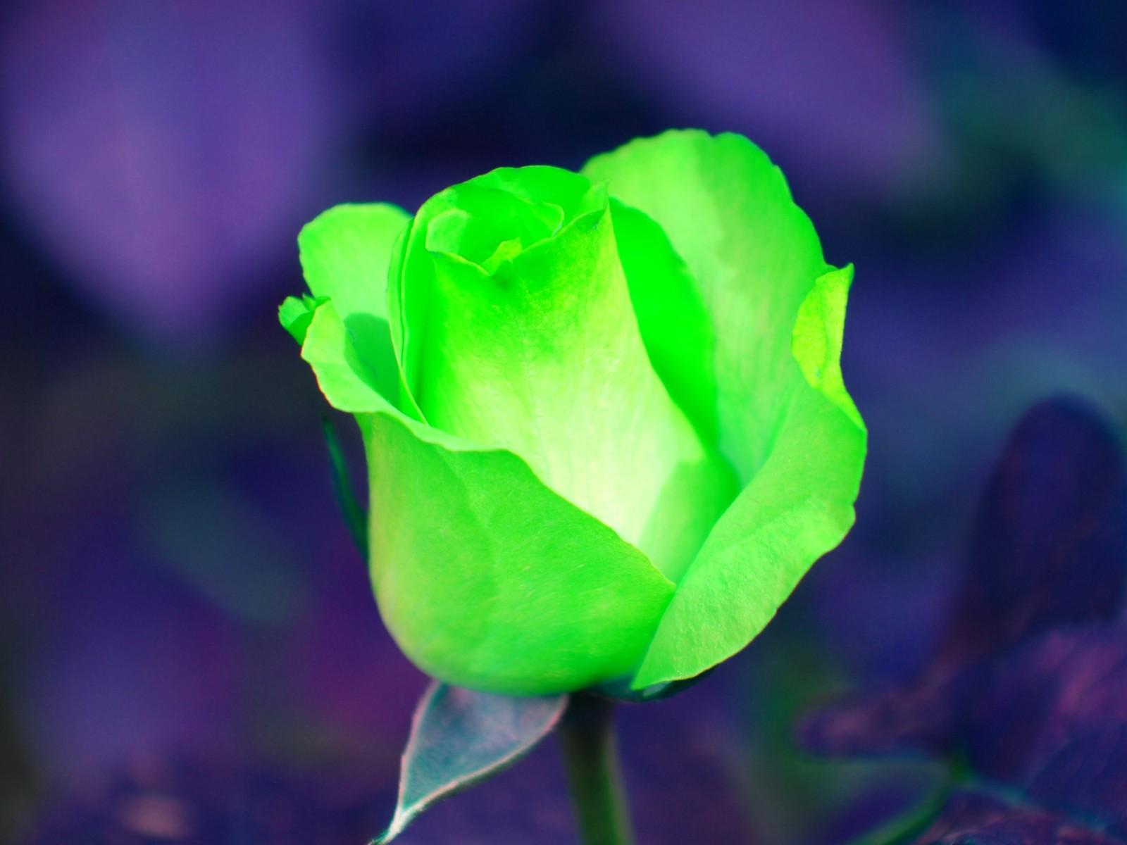 Fleurs Wallpaper Fleur Rose Verte